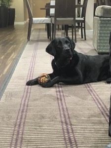 My. Guide Dog Fizz, laid without her harness. On a rug, side onto the. Camera with a rope ball in her paws