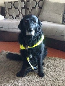 Photograph shows Guide dog Vicky sat in harness in the lounge in front of the sofa, she is wearing a smile on her face.