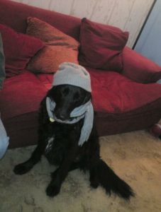 Photgraph shows black flat tie x lab dog sat with a grey hat and scalf in front of a red sofa
